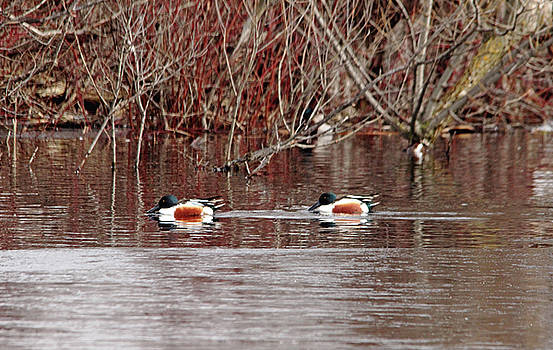 Northern Shovelers by Debbie Oppermann