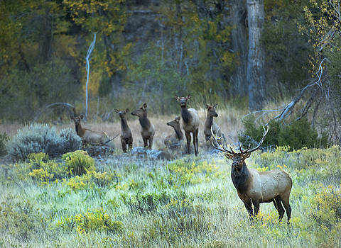 Northfork Bull Elk and the Girls by Amy Gerber