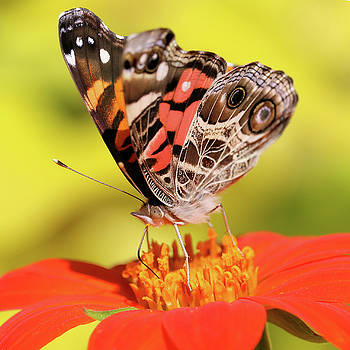 Not a Painted Lady by Doris Potter