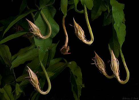 Warren Sarle - Not-Blooming Cereus