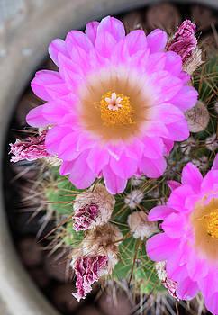 Michalakis Ppalis - Notocactus Mammulosus purple Cactus flower