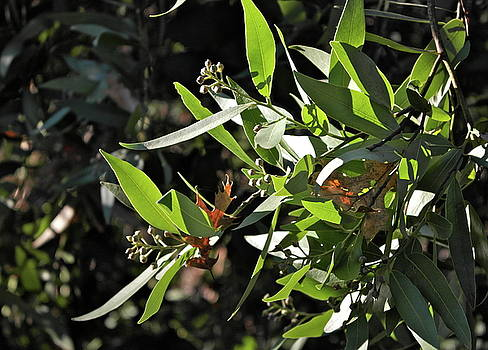 November California Bay Laurel by Michele Myers