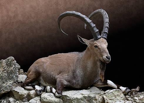 Nubian Ibex Portrait by Debi Dalio