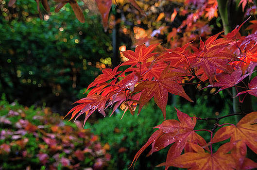 Marilyn Wilson - Japanese Maple