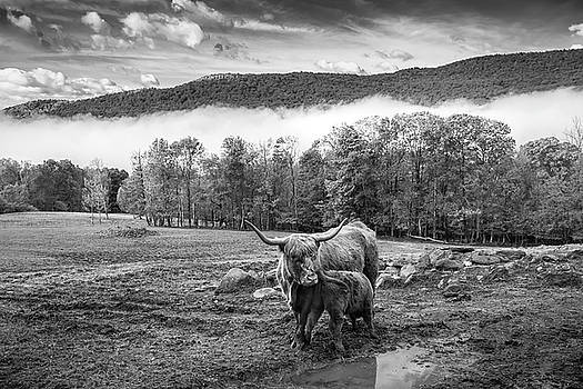Nursing Highland Cow by Dave Schmidt