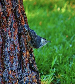 Nuthatch by Helen Carson