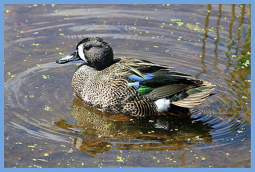 Nuther Pretty Duck by John Rowe