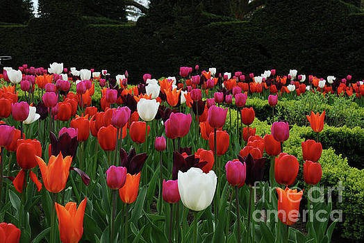 Nymans Tulips by Richard Gibb