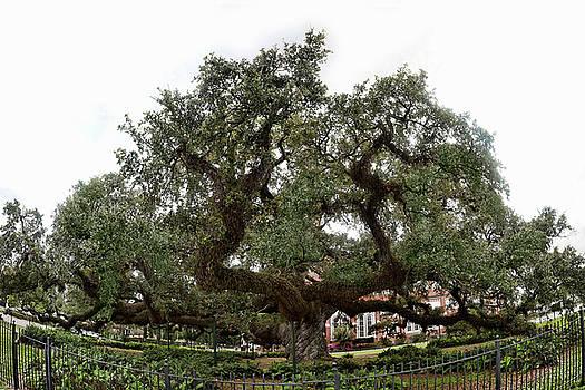 Oak by Cecil Fuselier