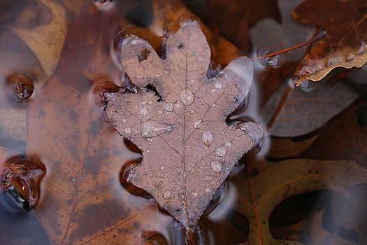 Oak leaf On Water by David Hand