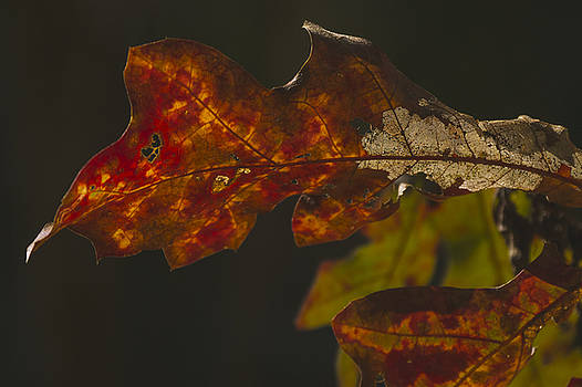 Oak leaves at Fall 2 by Billy Stovall