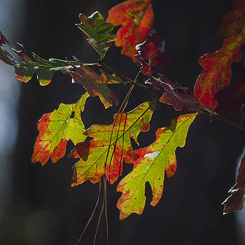 Oak leaves at Fall by Billy Stovall