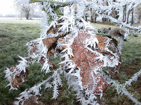 Oak Leaves Covered In Hoarfrost by Patricia Whitaker