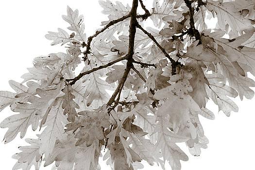 Frank Tschakert - Oak Leaves