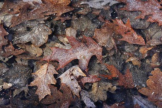 Oak Leaves In Ice  by David Hand