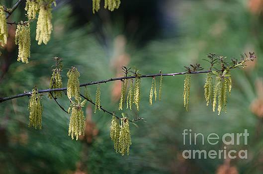Dale Powell - Oak Pollen