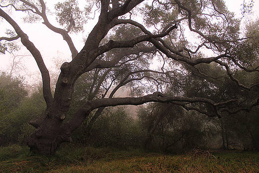 Robin Street-Morris - Oak Sentinel with Coastal Fog