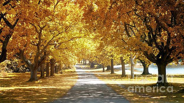 Oak tree avenue in Autumn by Jane Rix