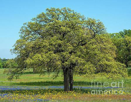 Billy Moore - Oak Tree