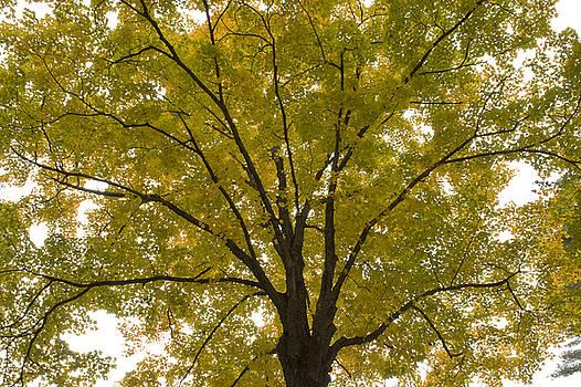 Oak Tree Foliage Explosion by Michael Wall