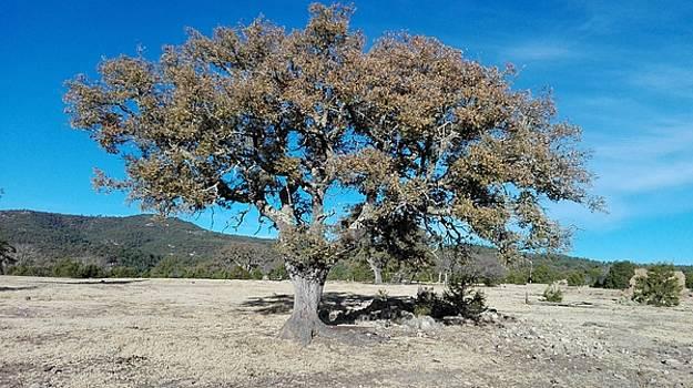 Oak Tree by Jesus Nicolas Castanon