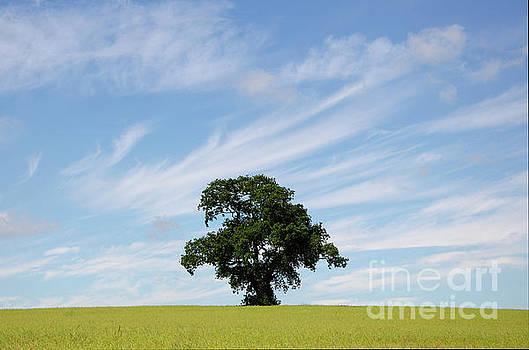Oak tree landscape by Steev Stamford