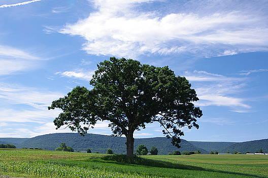Oak Tree  by Stephanie Calhoun