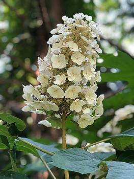 Oakleaf Hydrangea by Betsy Cullen