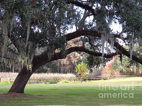 Oaks draped by Anita Adams