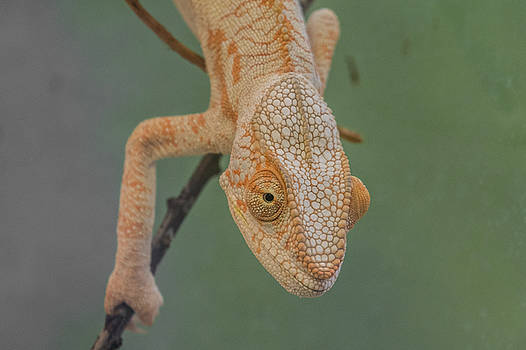 Observations Of A Cameleon by Rabiri Us