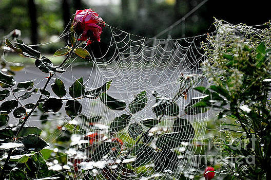 October Webs and Roses by Tanya Searcy