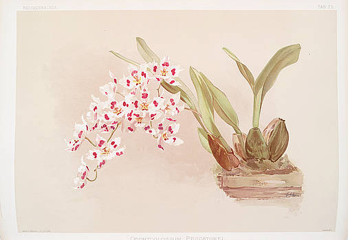 Ricky Barnard - Odontoglossum Pescatorei