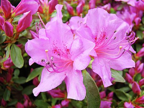 Baslee Troutman - OFFICE ART Pink Azalea Flower Garden 3 Giclee Art Prints Baslee Troutman