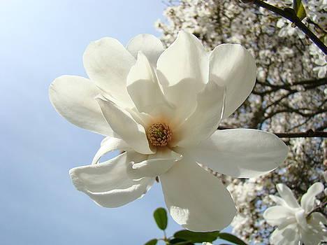Baslee Troutman - OFFICE ART PRINTS White Magnolia Flower 66 Blue Sky Giclee Prints Baslee Troutman