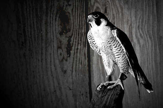 Rescued Okeeheelee Falcon in Black and White by Luis Aponte