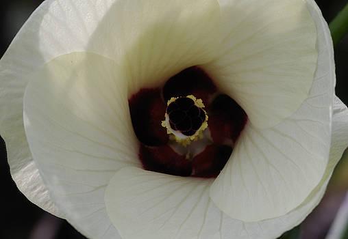 Okra Blossom by Randy Bodkins