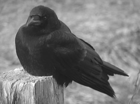 Alana  Schmitt - Old Crow