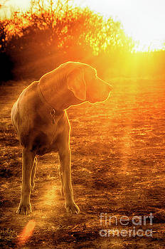 Old Dog Sunset by Sari ONeal