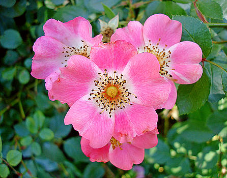 Robert Meyers-Lussier - Old Fashion Bush Rose Cluster