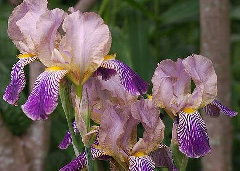 Old-fashioned Iris by Randy Bodkins