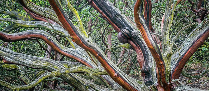 Old-Growth Manzanita by Alexander Kunz