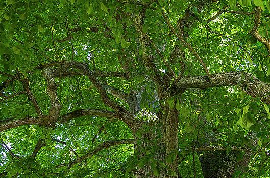 Old linden tree. by Ulrich Burkhalter