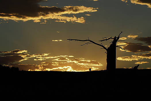 Old pine tree at sunset by Bill Gabbert