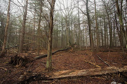Old Pines by Steve Gravano