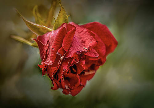 Old red rose #h0 by Leif Sohlman
