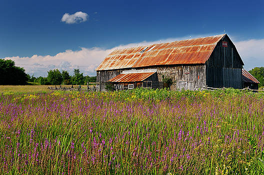 Reimar Gaertner - Old rusted barn and purple loosestrife in the country near Brook