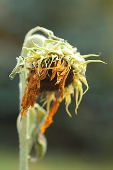 Gothicrow Images - Old Sunflower Still Standing
