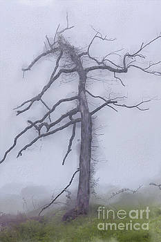 Dan Carmichael - Old Tree in Fog in the Blue Ridge AP