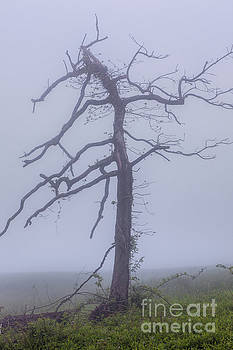 Dan Carmichael - Old Tree in Fog in the Blue Ridge