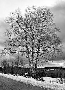 Old White Birch by Betty Pauwels